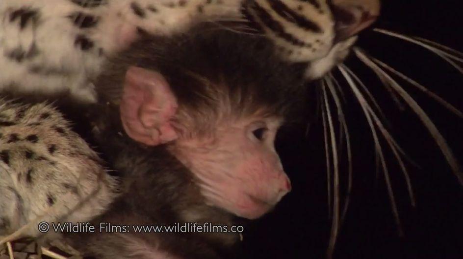 Diese Leopardin tötet einen Pavian. Als sie danach das hilflose Affenbaby entdeckt, passiert das Unglaubliche