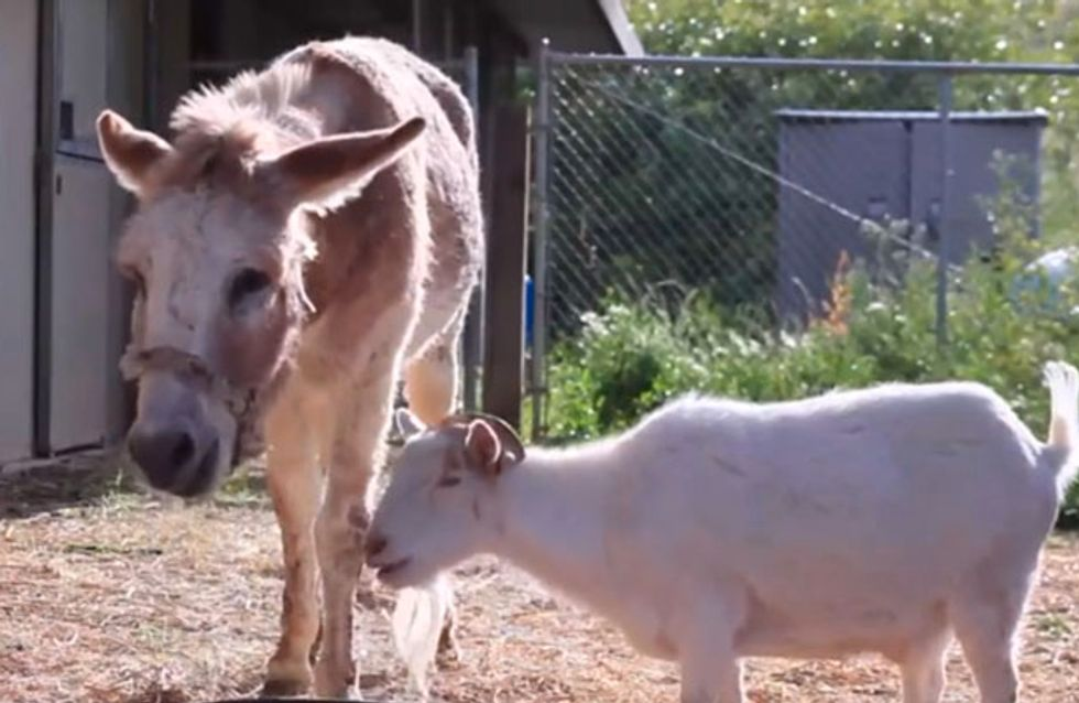 Goat And Donkey BFFs Go On Hunger Strike To Be Reunited