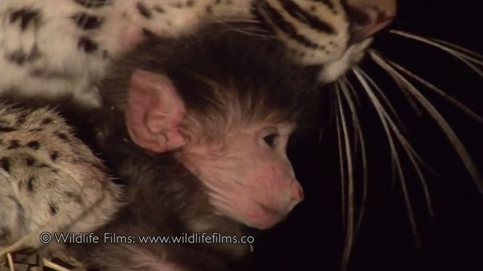 ¡Increíble! Un leopardo mata a un babuino y cuida a su cría