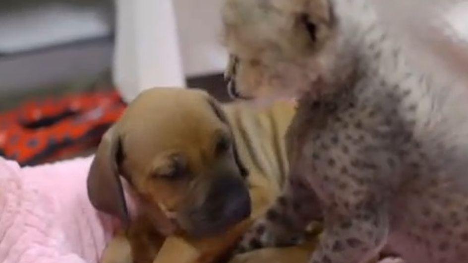 Rejeté par sa mère, un bébé guépard trouve du réconfort auprès d'un chiot (Vidéo)