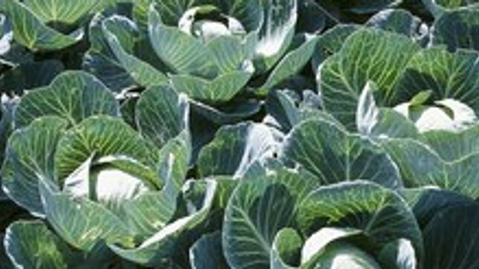 Vegetables of the cabbage family
