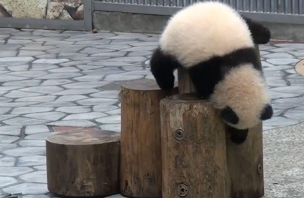 Autsch! Diese Pandas möchten wir am liebsten in den Arm nehmen und trösten!