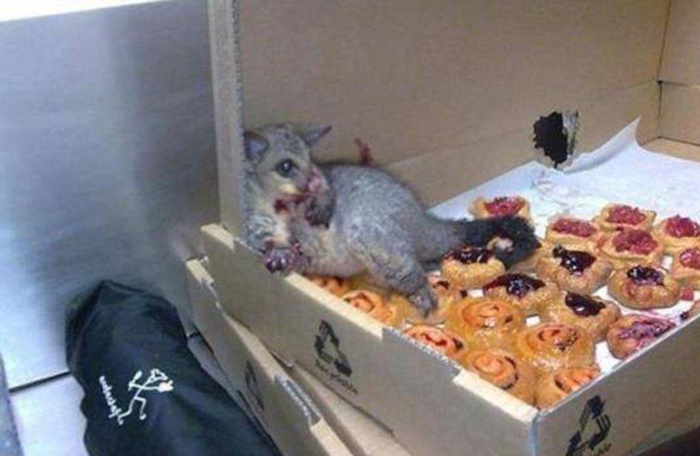 LOL!!! Ein Opossum bricht in eine Bäckerei ein & stopft sich so voll, dass es nicht mehr laufen kann!