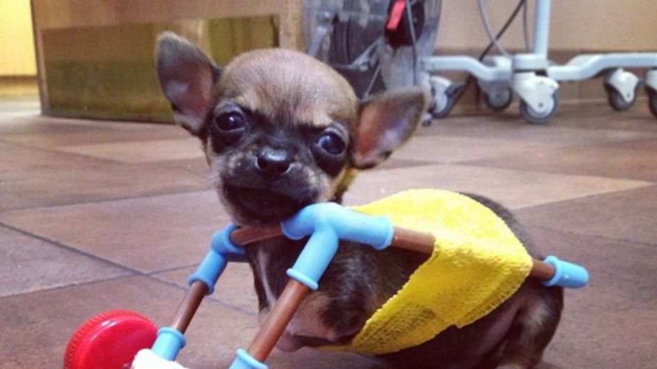 Danke, liebe Tierklinik! Endlich kann Chihuahua Turbo spielen