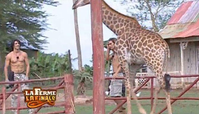 ferme girafe