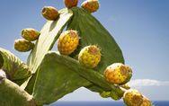 L'huile de figue de barbarie : nouvel allié beauté !