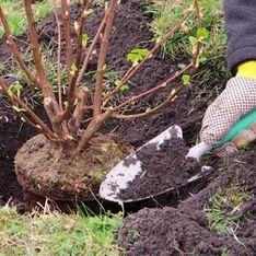 Arbustes : comment les planter ?