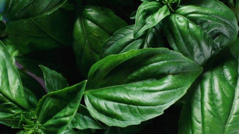 Il basilico: le varietà, la cura e l'utilizzo
