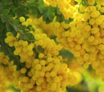La mimosa: una pianta per tutto l'anno