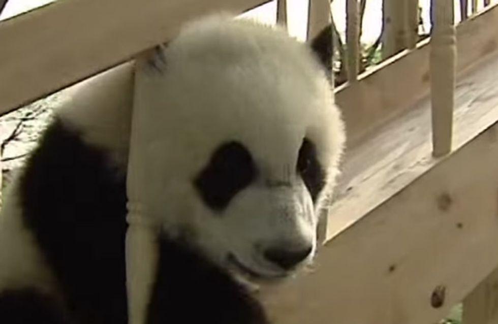 Gott, sind DIE süß! Diese Panda-Babys sausen die Rutsche runter und direkt in unsere Herzen