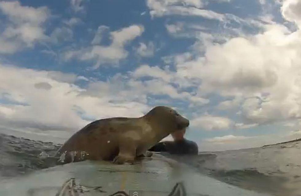 Kleiner Seehund ganz groß! Diese zwei Surfer erleben die Überraschung ihres Lebens
