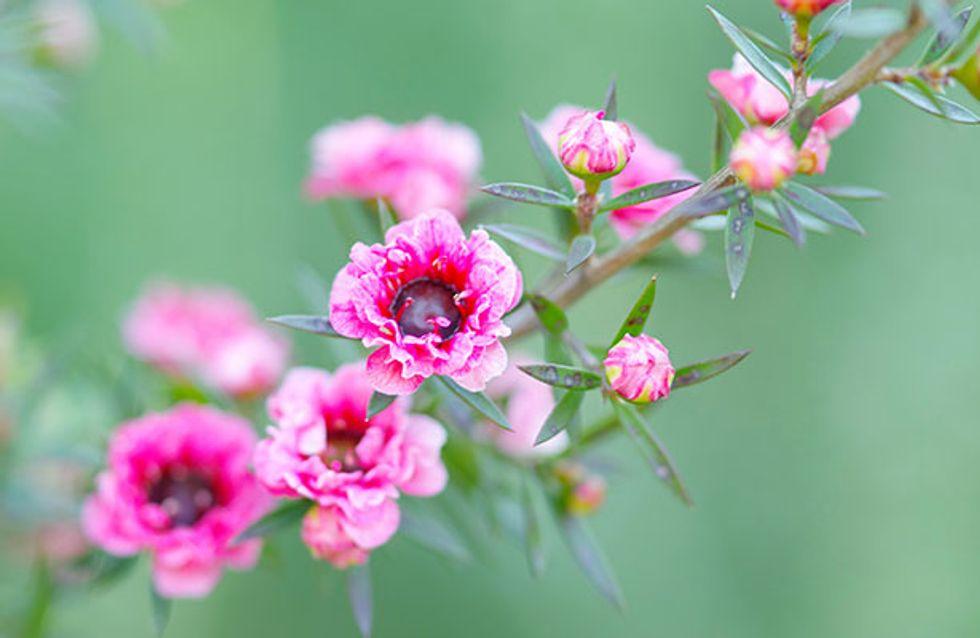 The Miracle Tree? 10 Amazing Health Benefits Of Tea Tree Oil