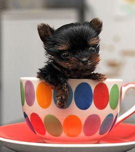 El perro más pequeño del mundo mide 5 centímetros