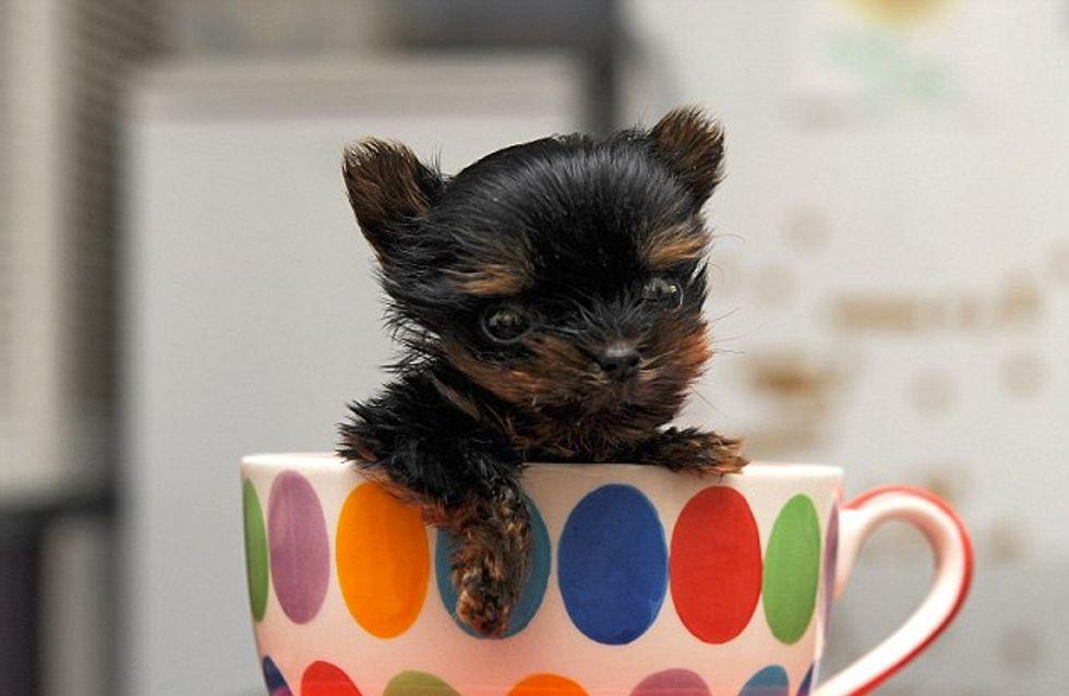 Voici le plus petit chien du monde (et sûrement le plus mignon)