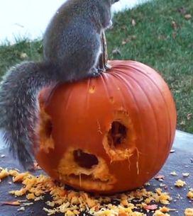 Video/ Tutti festeggiano Halloween: anche questo scoiattolo che intaglia la sua