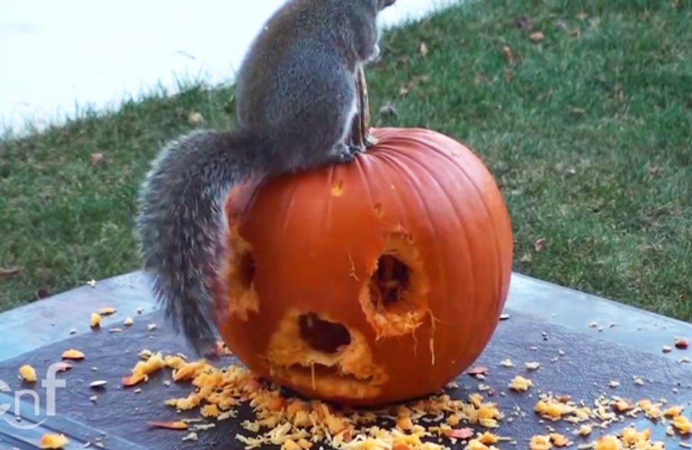 Video/ Tutti festeggiano Halloween: anche questo scoiattolo che intaglia la sua zucca