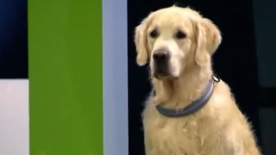 Einmal Hundeschule und zurück: Dieser Golden Retriever hat seine eigenen Regeln!