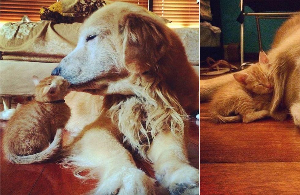 Sooo süß! Golden Retriever Keelo und Kätzchen Koda sind ein Herz & eine Seele