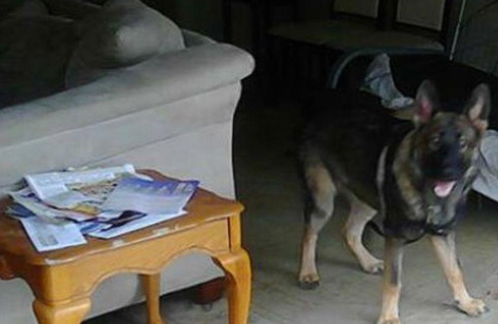 Un chien sauve sa famille en se jetant devant une balle