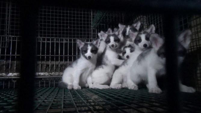 Junge Füchse im Käfig