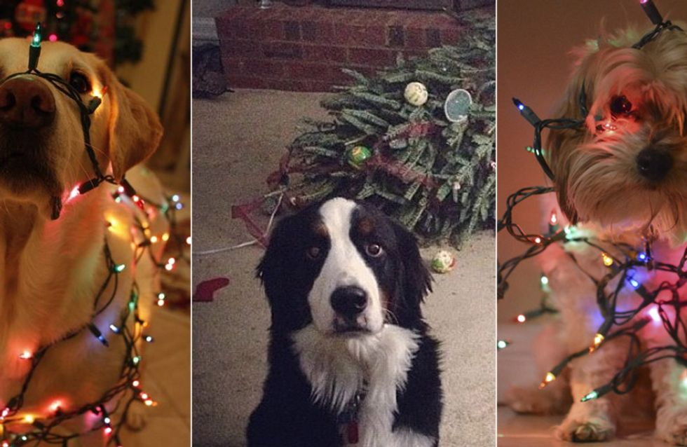 Horror unterm Christbaum: DAS passiert, wenn das Haustier Weihnachten hasst!