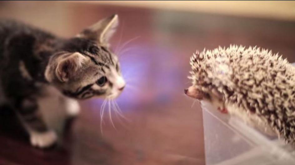 So süß! Wenn Kätzchen und Igel aufeinandertreffen