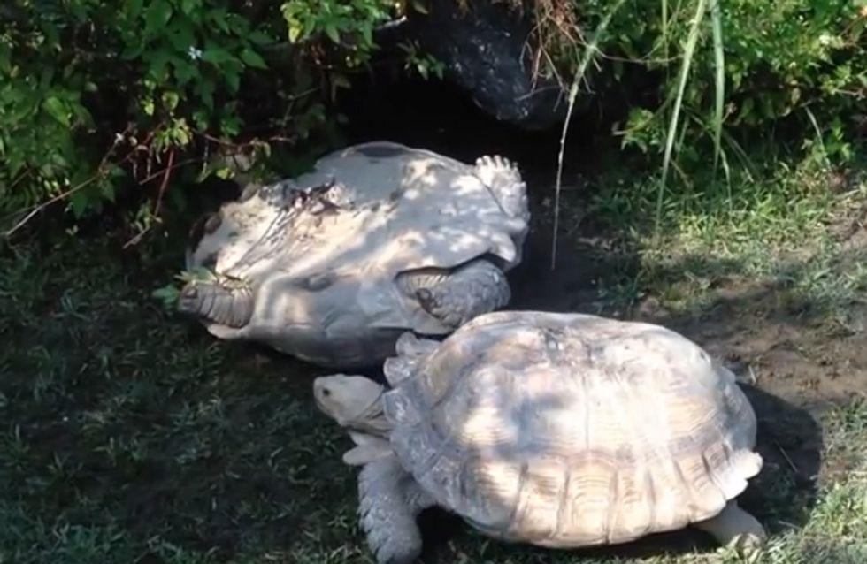 So schön! Diese Schildkröten zeigen uns, was wahre Freundschaft ist!