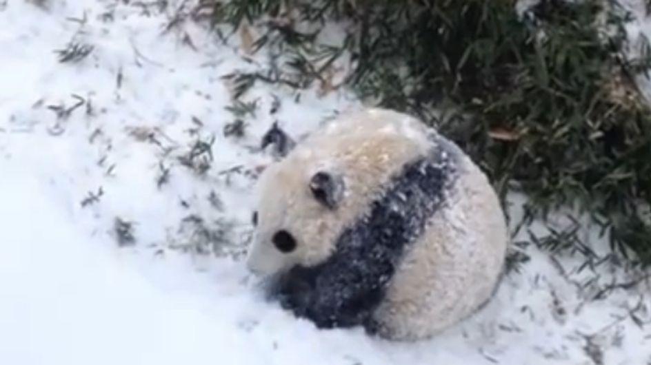 Ist das süß! Baby-Panda Bao Bao erlebt seinen ersten Tag im Schnee ♥♥♥