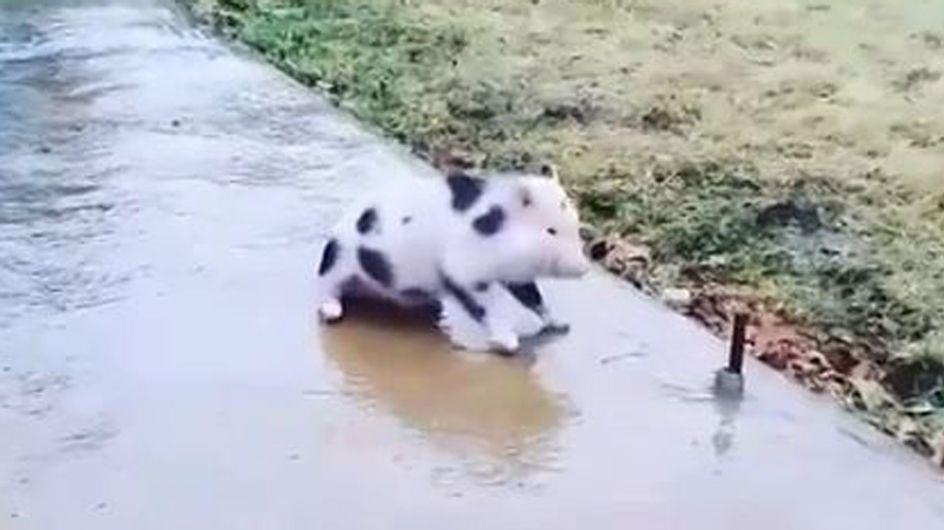 Vorsicht, jetzt komme ich! Ein Ferkel auf Rutschpartie
