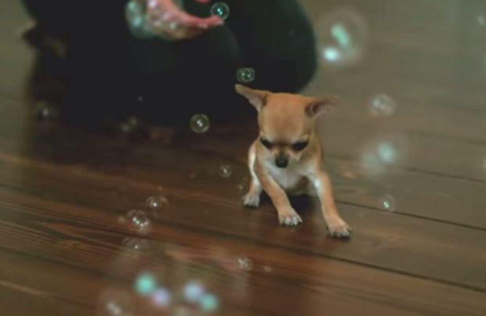 So süß, wie dieser kleine Chihuahua Seifenblasen jagt! ♥