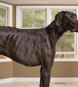 Perros gigantes: Así son algunos de los más grandes del mundo