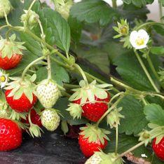 Jardinage : quand et comment planter les fraisiers ?