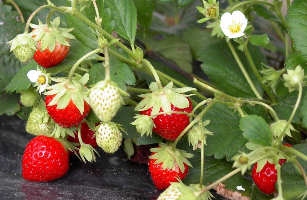 Plantations : ramène ta fraise !