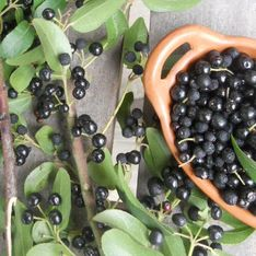 Bacche di Maqui: scopri le proprietà e i benefici di questo frutto tipico del Sud America