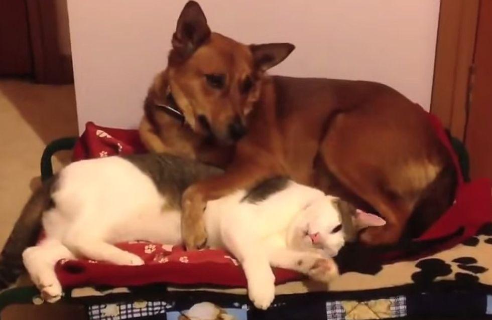 Kampf ums Körbchen: DAS passiert, wenn die Katze dem Hund den Schlafplatz streitig macht