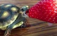 Eine Schildkröte, eine Erdbeere und ein unglaublich süßes Video! ?