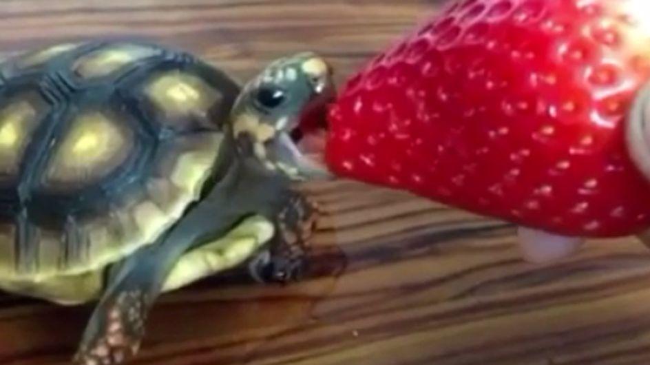Eine Schildkröte, eine Erdbeere und ein unglaublich süßes Video! ♥