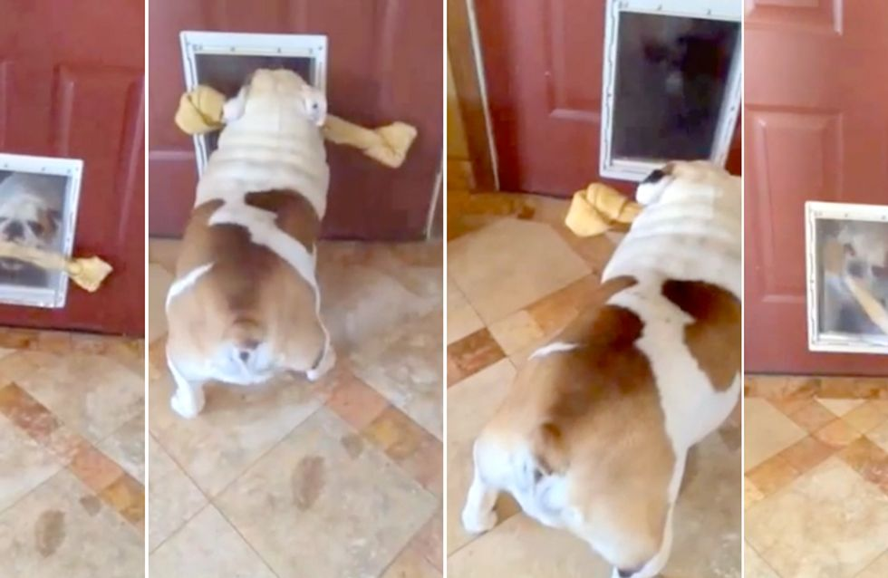 Video/ Guarda questo cane che prova a scappare con il suo osso enorme dalla porta, ma non ci passa!