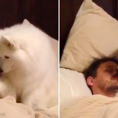 Video/ Il risveglio più tenero, morbido e bianco che tu abbia mai visto: guarda questo cucciolone che sveglia il suo padrone