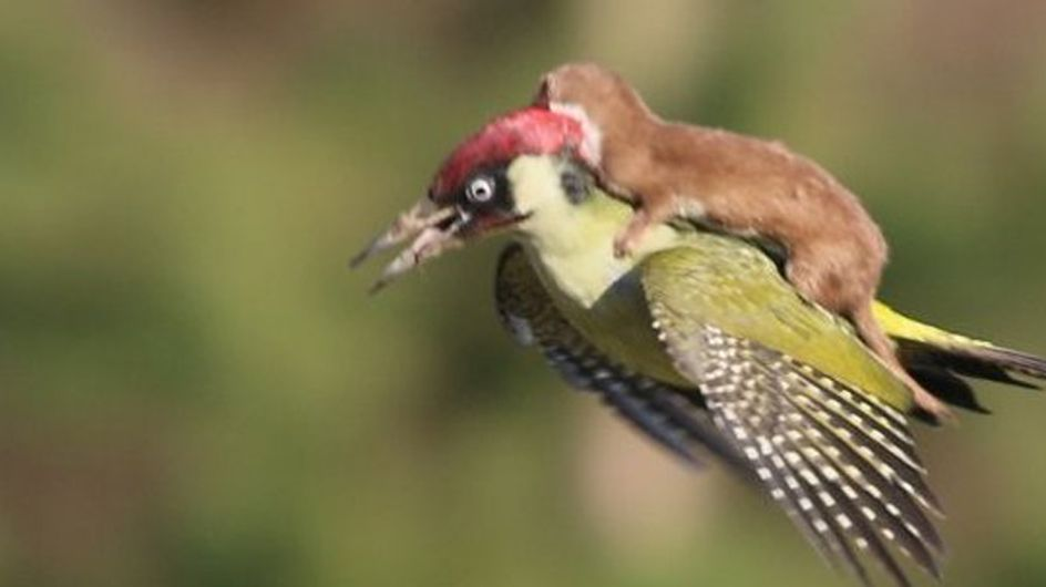 Has The Woodpecker Weasel Become The Greatest Meme Of All Time?