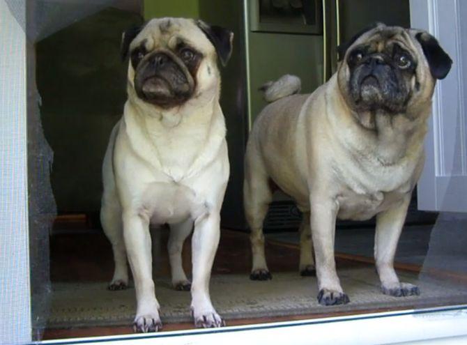 Cani contro porte invisibili