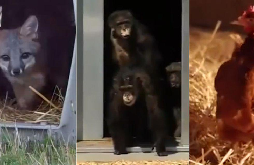 Ein wirklich bewegendes Video: Diese Tiere erfahren zum ersten Mal Freiheit