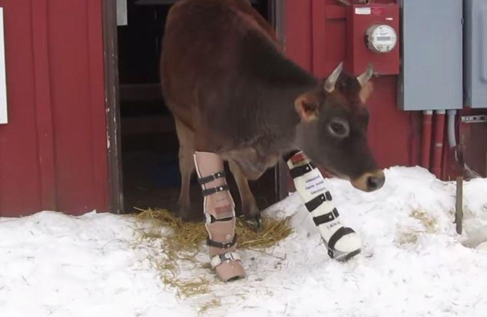 Ergreifendes Video: Diese kleine Kuh kann endlich wieder gehen, weil ihre Besitzerin sie nicht aufgab