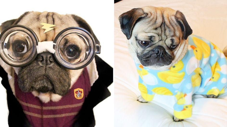 Video/ Prendi un carlino, un pigiama e una ninna nanna. Ecco il cucciolo più divertente del web e prova a non ridere!