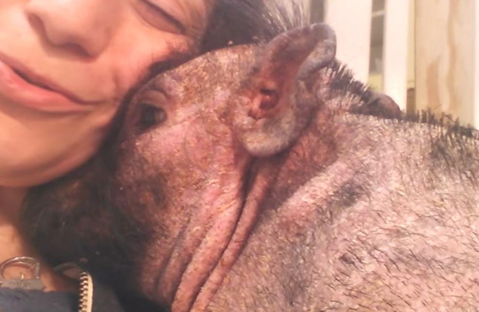 Um Bentley, dem Hängebauchschwein, die Angst zu nehmen, tut diese Frau etwas Herzzerreißendes