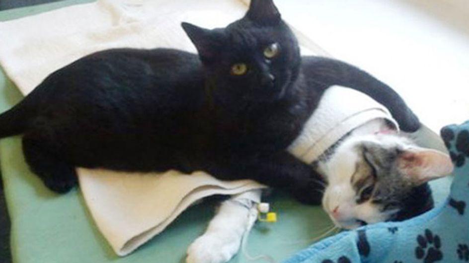 Tierische Krankenschwester: Dieser Kater kümmert sich liebevoll um andere kranke Tiere