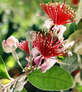 Feijoa: il frutto dalle mille virtù
