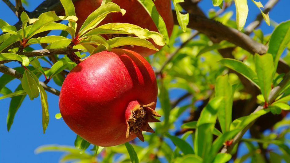 Il melograno: proprietà, usi e benefici