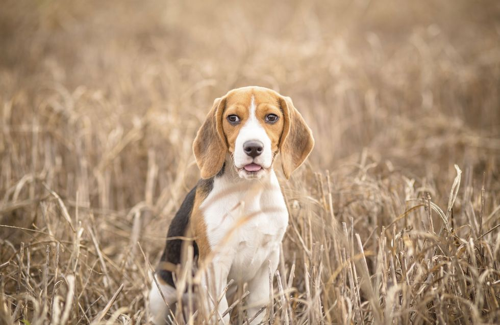 Le flair du chien utile pour détecter le cancer de la prostate ?