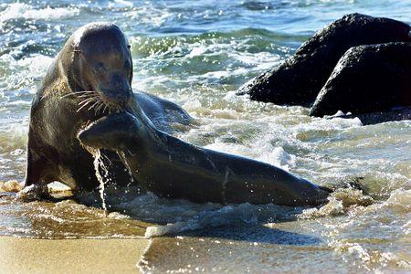 Le tragique destin des lions de mer en Californie
